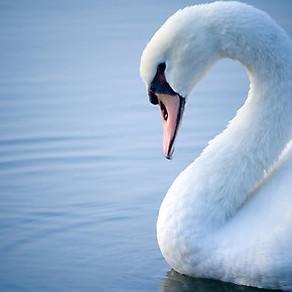 POETRY   Swan Song