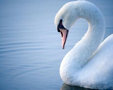 Swan Song_edited.jpg