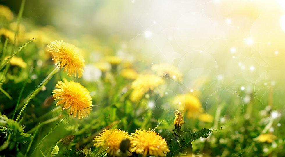 Beautiful flowers of yellow dandelions i