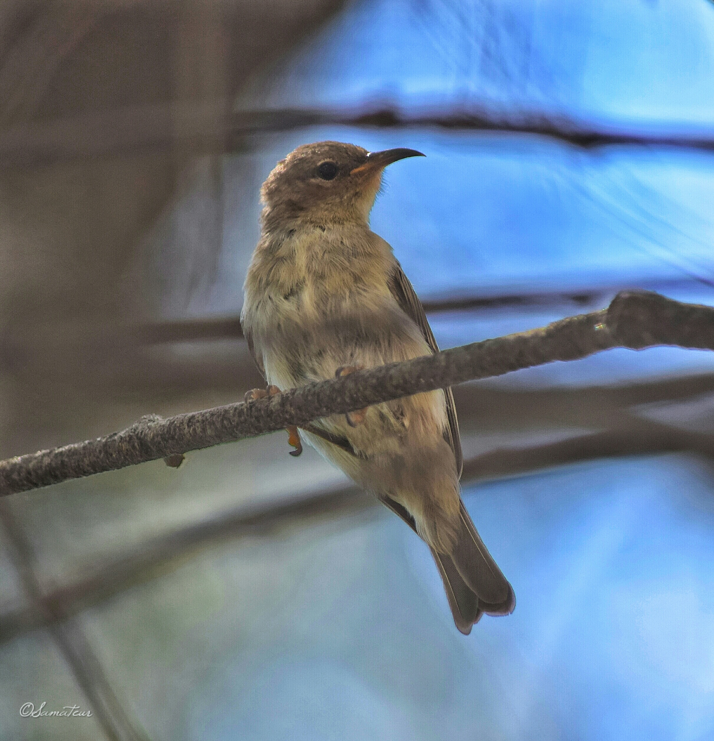 Young scarlet honeyeater