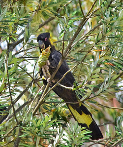 Yellow tailed Black