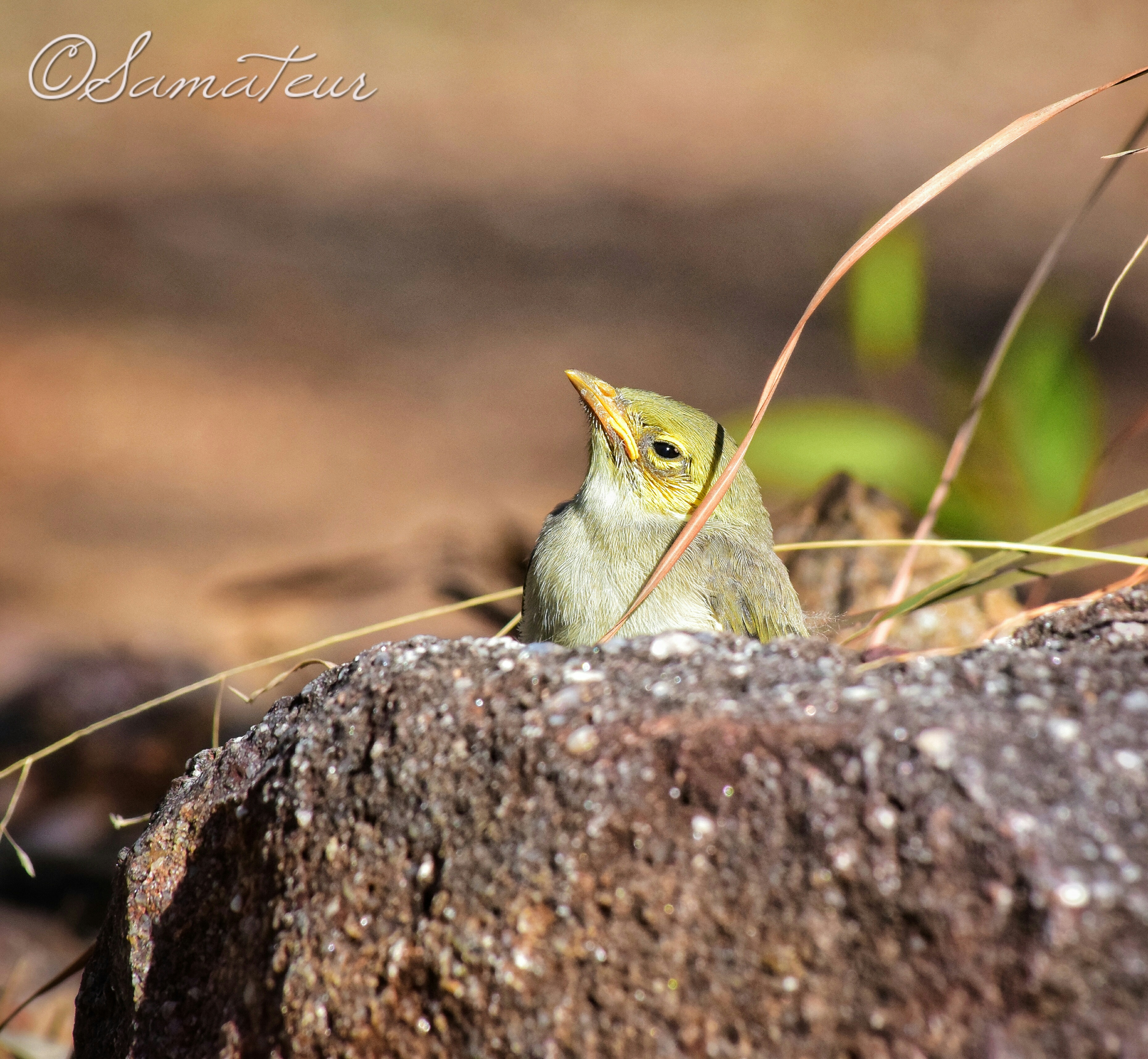 Baby white plumed honeyeater