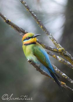 Rainbow Bee-eater1