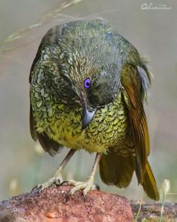 Female satin bower 2