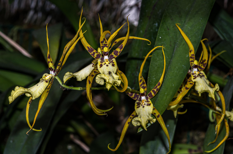 Orchidée oncidium phymatochilum