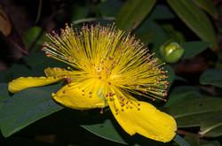 Millepertuis à grandes fleurs