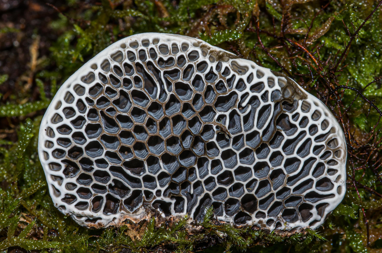Polypore nid d'abeilles