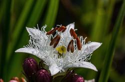 Trèfle d'eau (ményanthe)