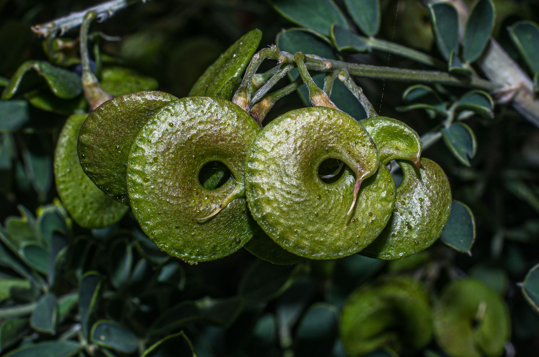 Luzerne arborescente