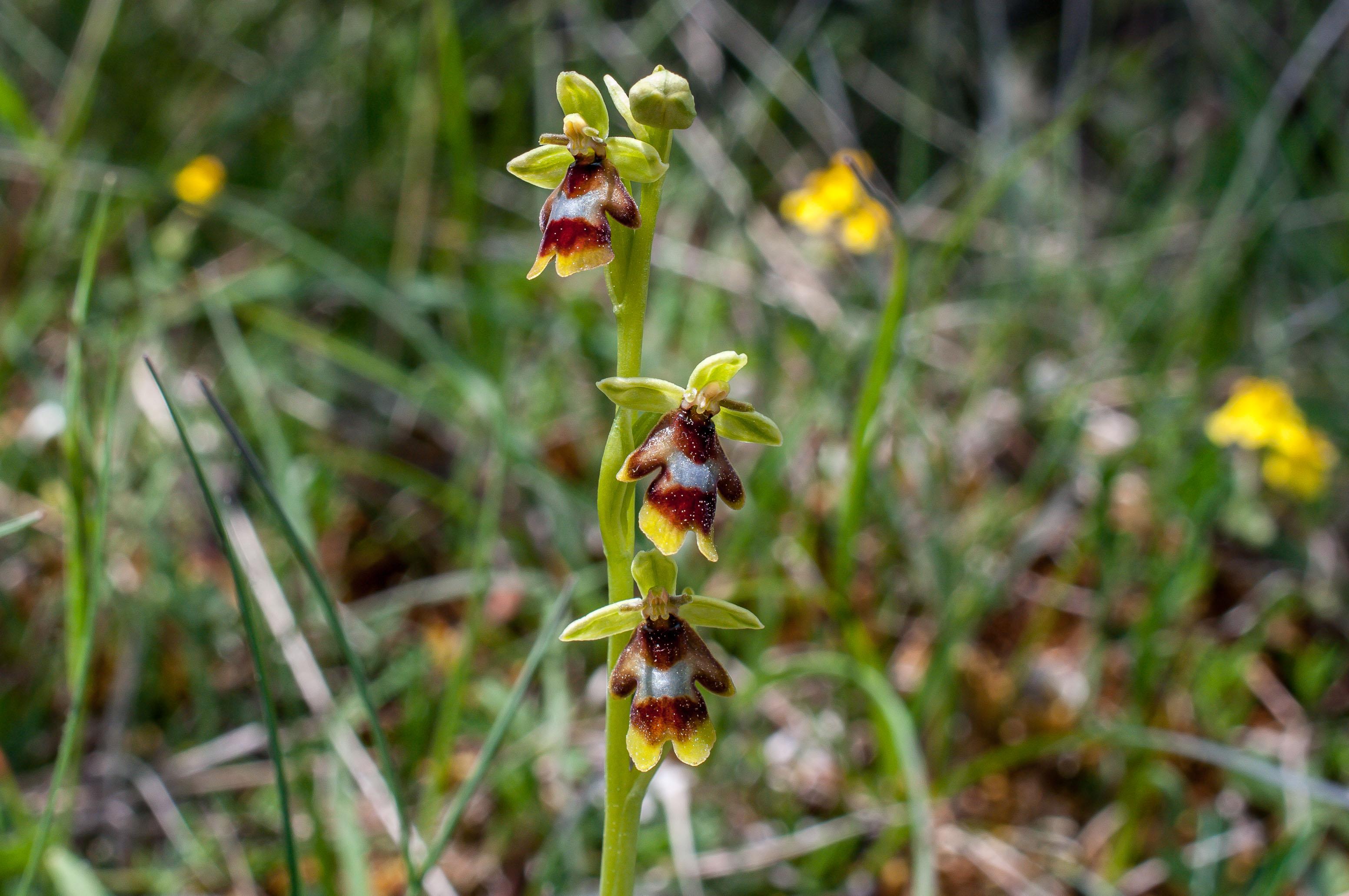 Ophrys Aymonin