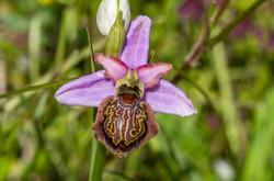 Ophrys aveyronnais