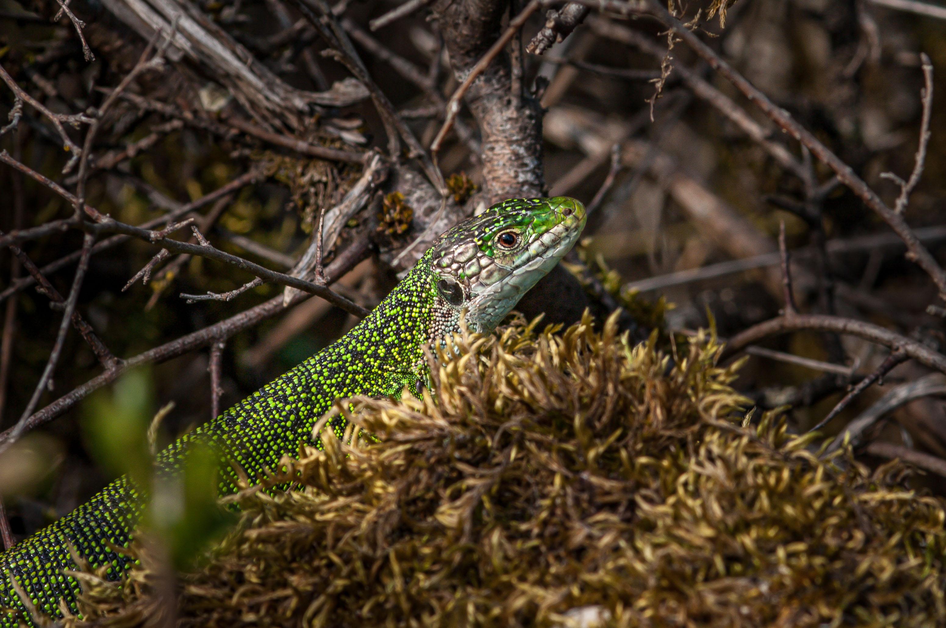 Lézard vert femelle