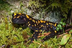 Salamandre de Corse