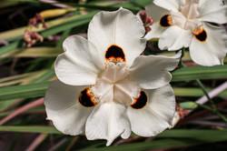 Narcisse à deux fleurs