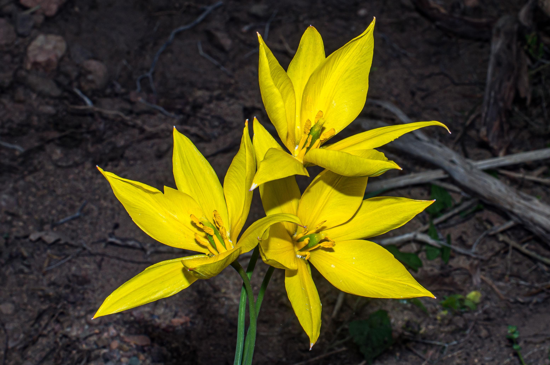 Tulipe du midi