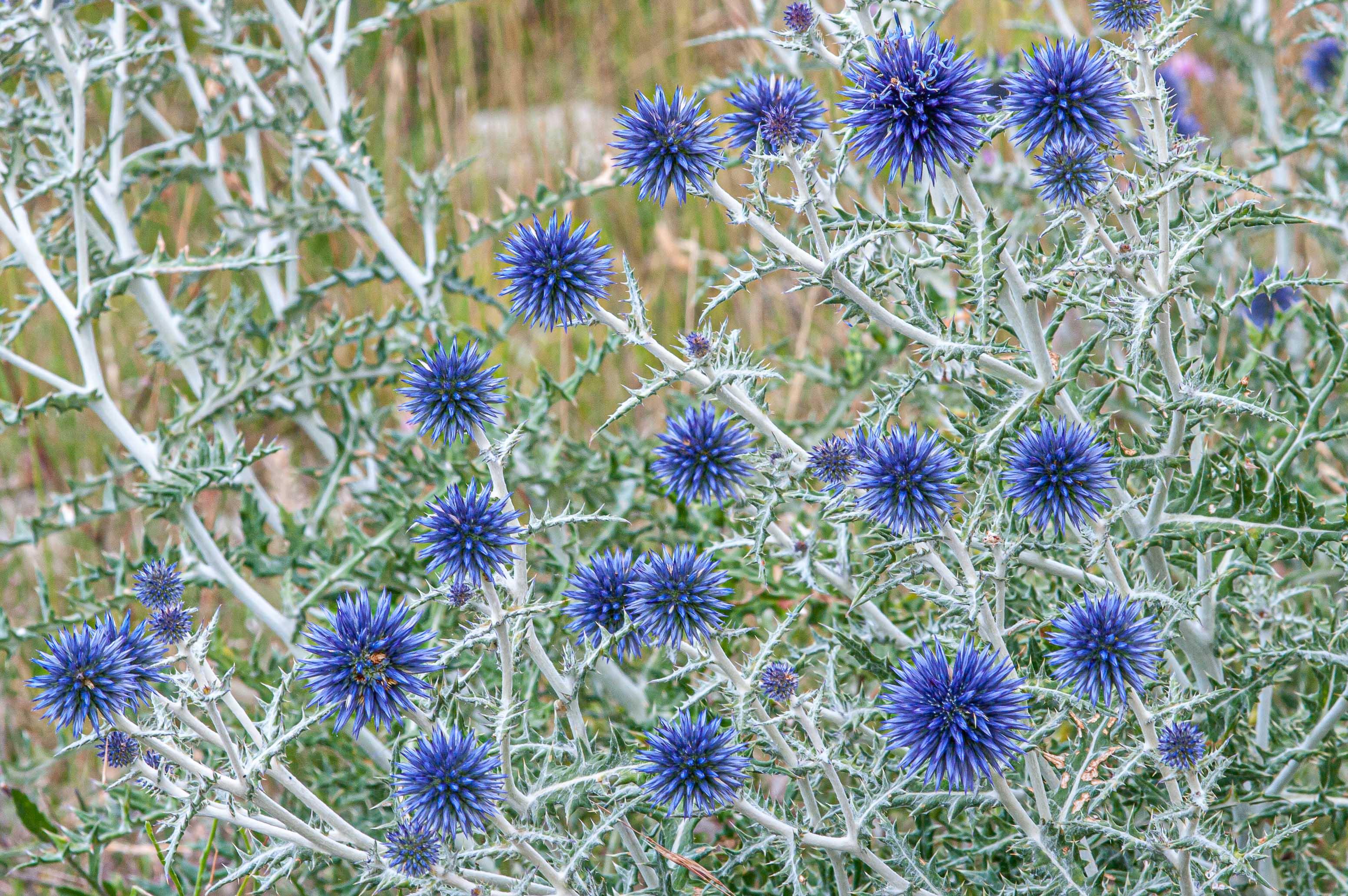 Oursin bleu (echinops)