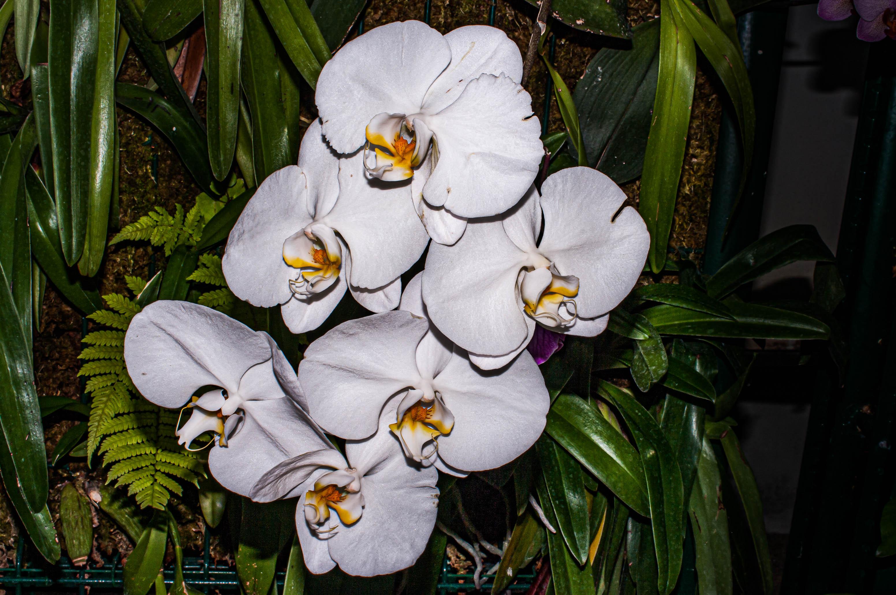 Orchidée phalaenopsis