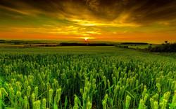 1920x1200_wheat_field_at_dusk-1536053.jpg