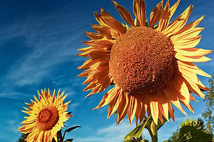 Sunflowers On An Autumn Morning.jpg