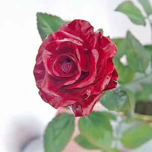 PORCELAIN RED ROSES