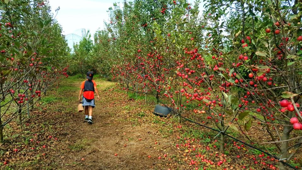 apple picking in south korea