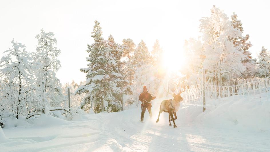 Reindeers, north Sweden