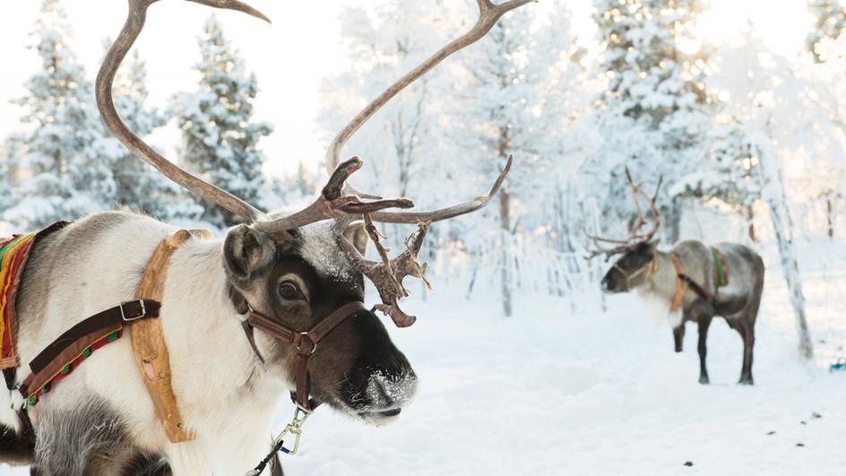 Reindeers, north of Sweden
