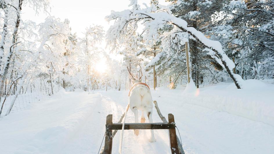 Reindeer, north of Sweden