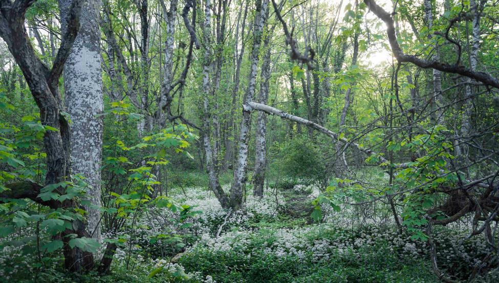 Forrest on Gotland, Sweden