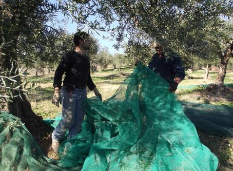 L'olivicoltura Molisana fra tradizione e innovazione - una chiacchierata con Antonio Abruzzese