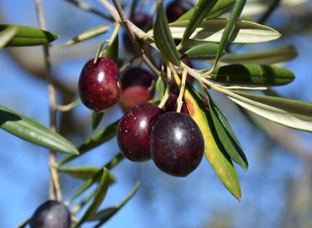 Che cosa rende un Olio EVO davvero eccellente? Gli antichi segreti dei maestri oleari Timperio
