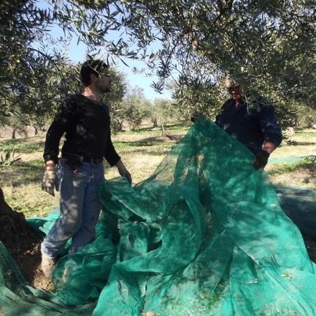 Olive Harvesting: when Tradition and Innovation come together - a chat with Antonio Abruzzese