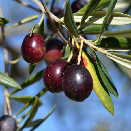 What Makes a Superb Extra Virgin Olive Oil? Age-old Secrets of Timperio Olive Oil Masters