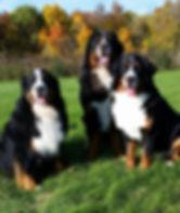 A trio of Bernese Mountain Dogs