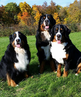 A trio of Bernese Mountain Dogs