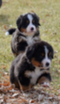 cute bernese puppies