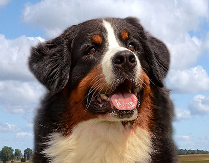 Beautiful head shot of Bernese Mt Dog