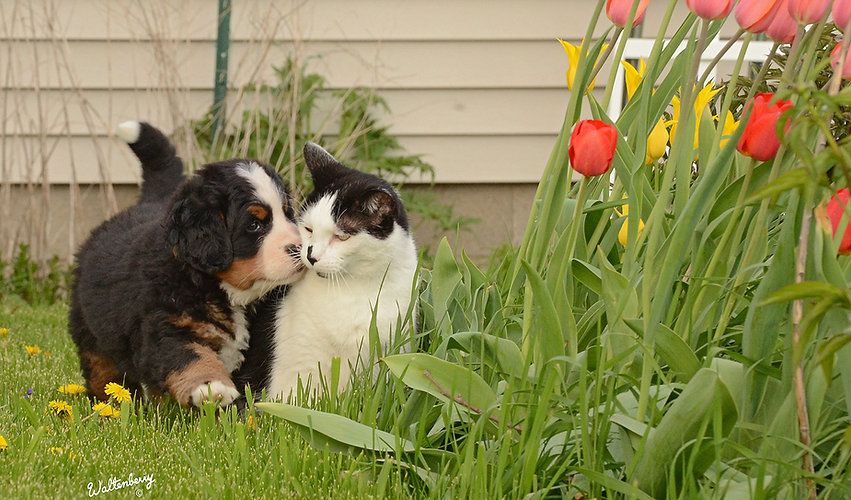 Bernese puppy and his cat friend
