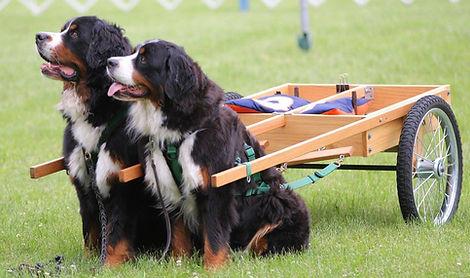 Tandum Draft Dogs ready to work
