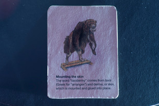 Detail from tableau 4. One hand-made card from a set of six showing various stages involved in mounting an animal for a natural history diorama display.