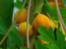 Papaya-Carica