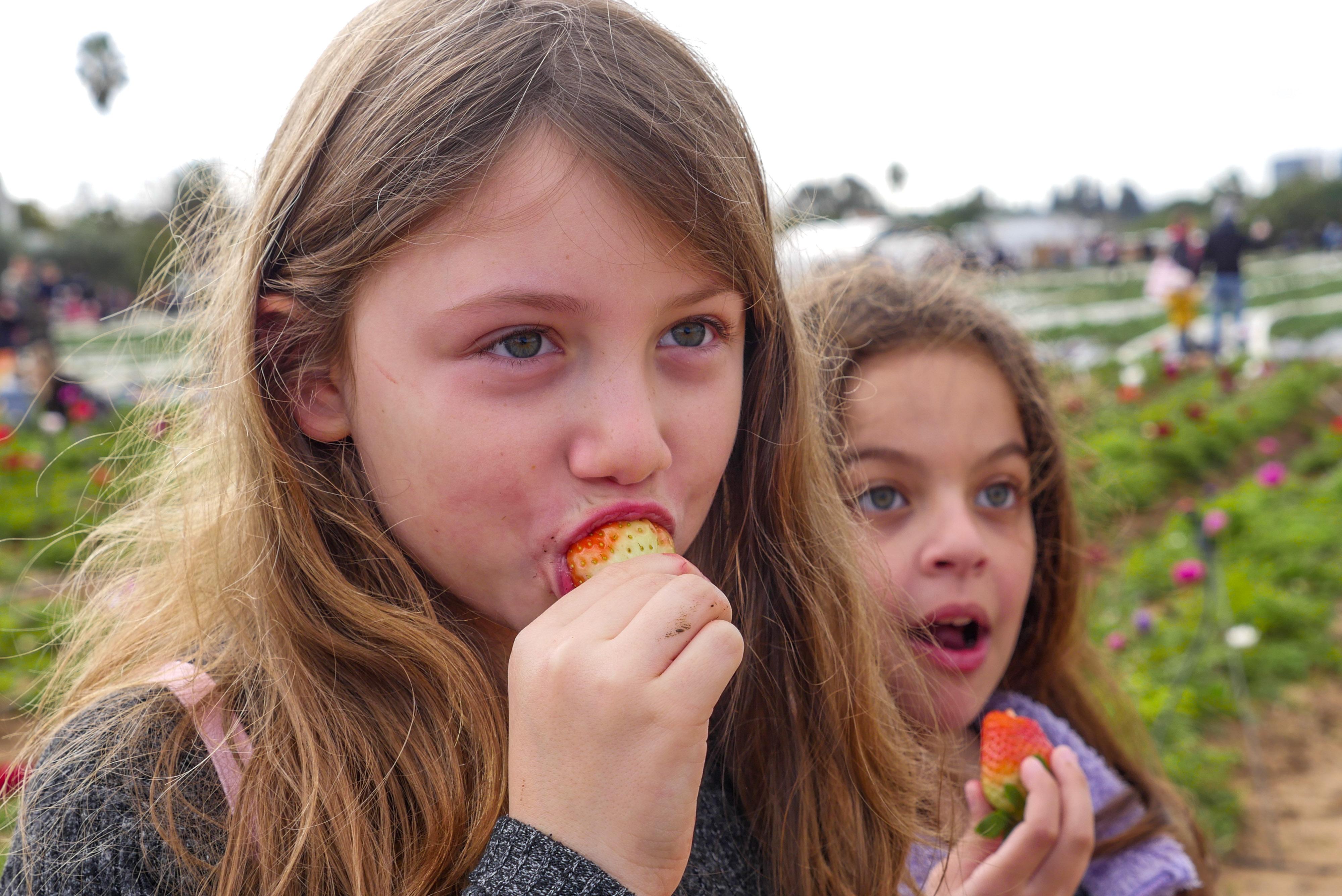 קטיף תותים בשבת