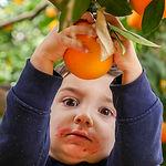 קטיף תפוזים בשבת