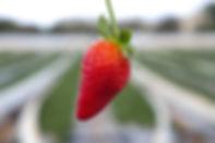 קטיף תות שדה