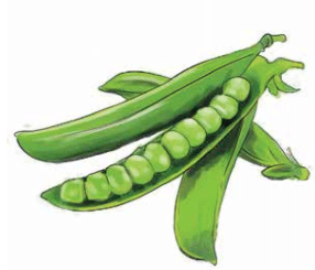 Urban farming, Chicago gardening, peas