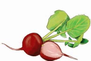 Urban farming, Chicago gardening, radishes