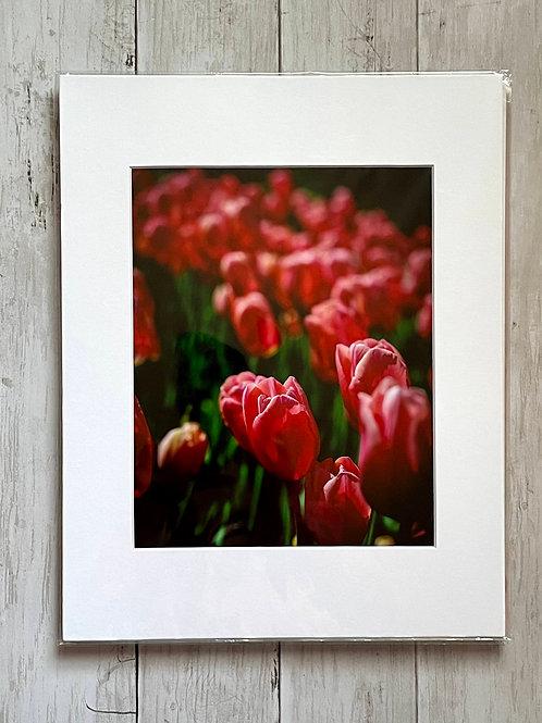 Dark Pink Tulips | 8x10