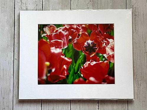 Tulip Festival (Red) | 8x10
