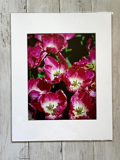 Longwood Tulips | 8x10