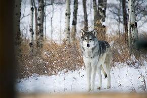 Highlight Adventures | Yamnuska Wolfdog Sanctuary